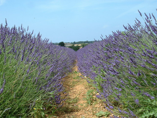 File:A field of lavender. - geograph.org.uk - 156339.jpg