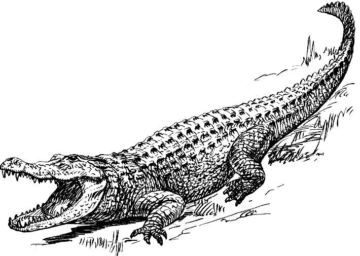 Line Art Wikipedia : File alligator psf wikimedia commons
