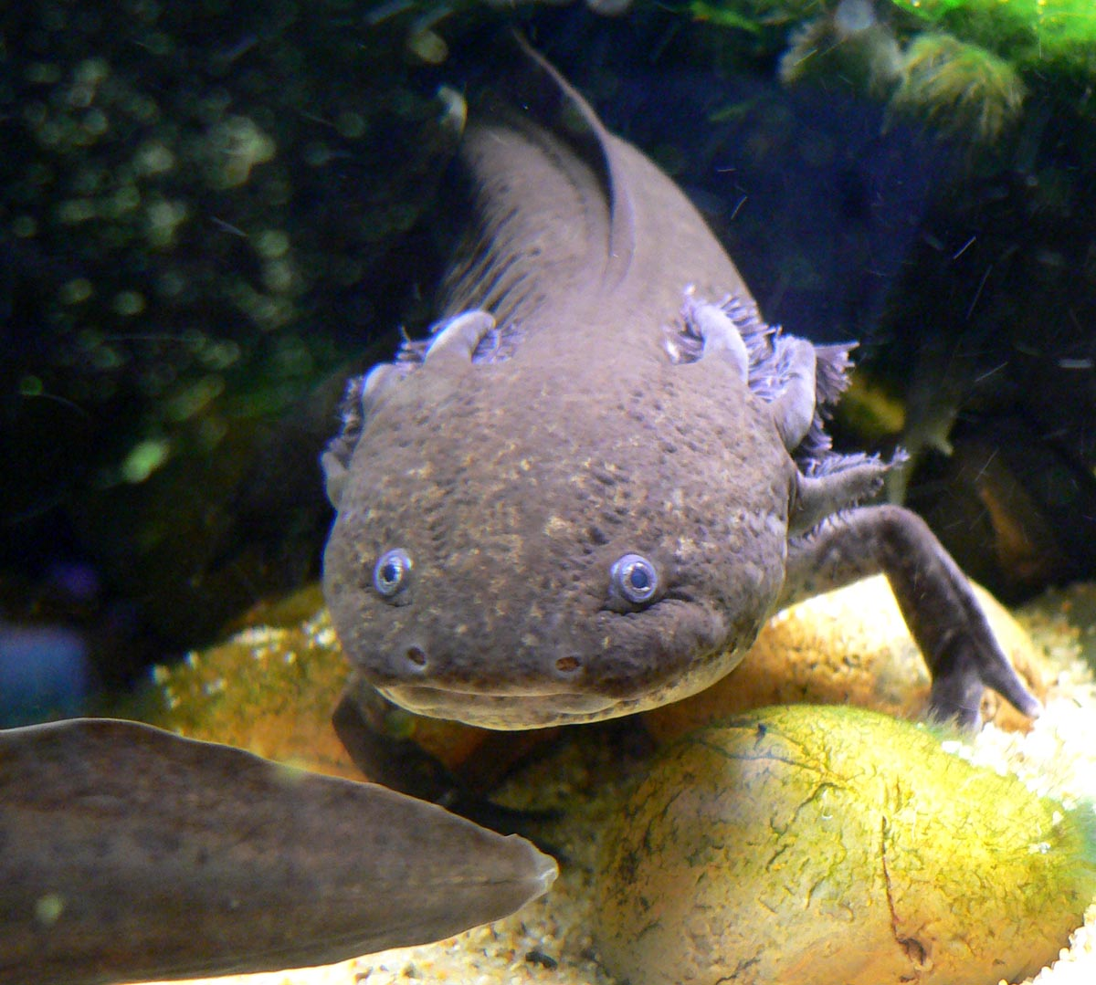 An Axolotl would be an usual goldfish tank mate - but it is possible