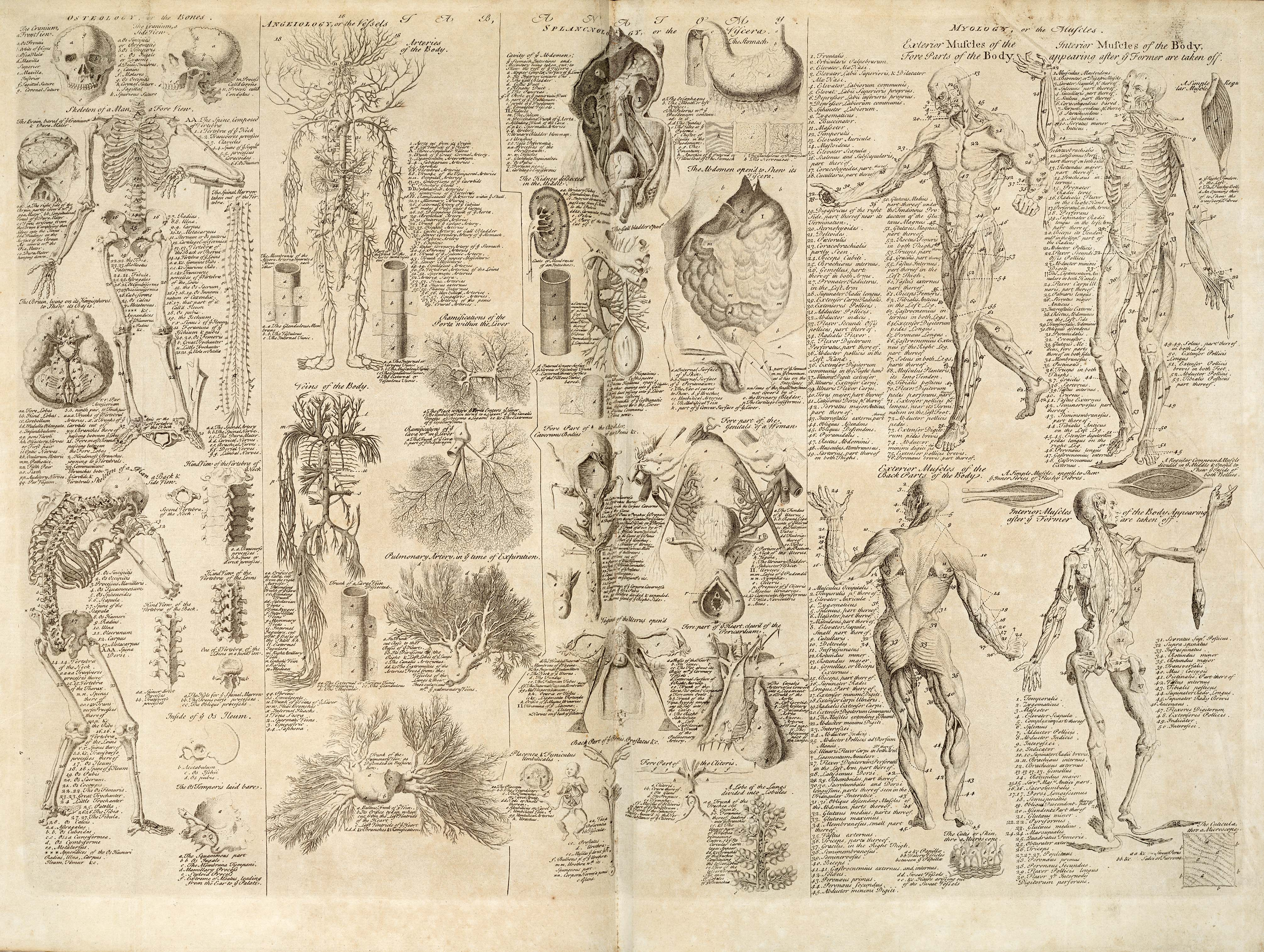 Anatomical chart, Cyclopaedia, 1728, volume 1, between pages 84 and 85.jpg