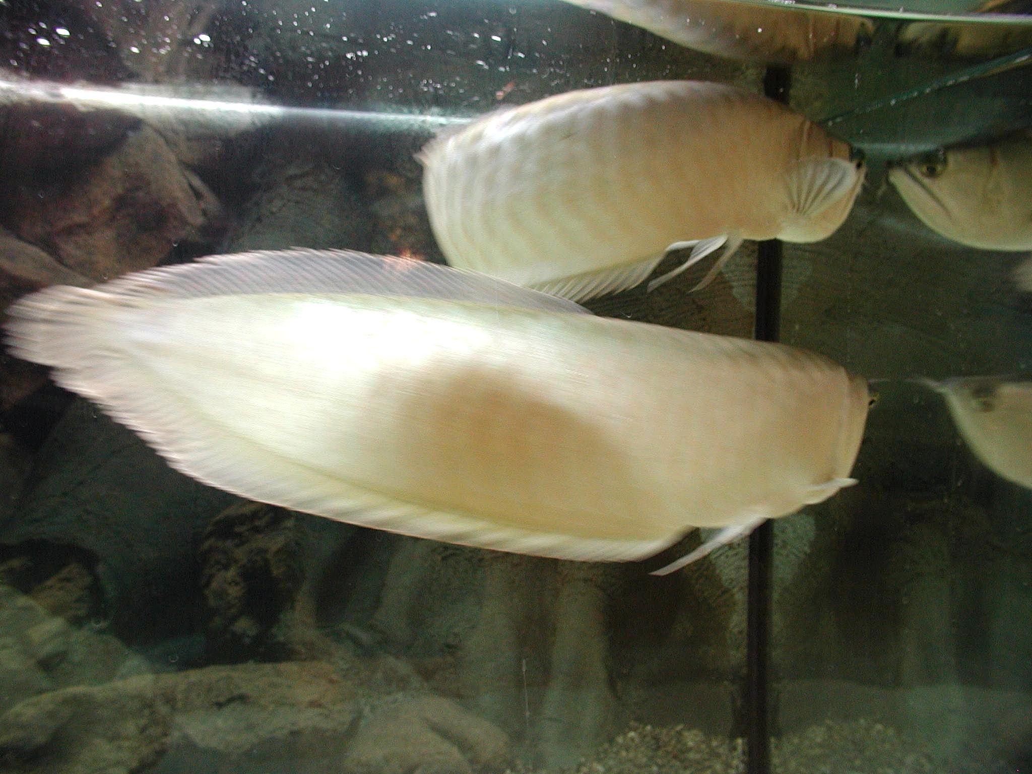 File aquarium fish white for Whiting fish picture