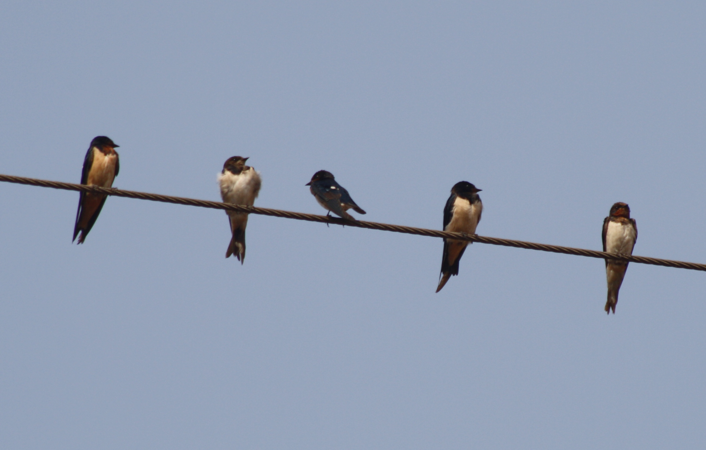 [Barn Swallows on migration]
