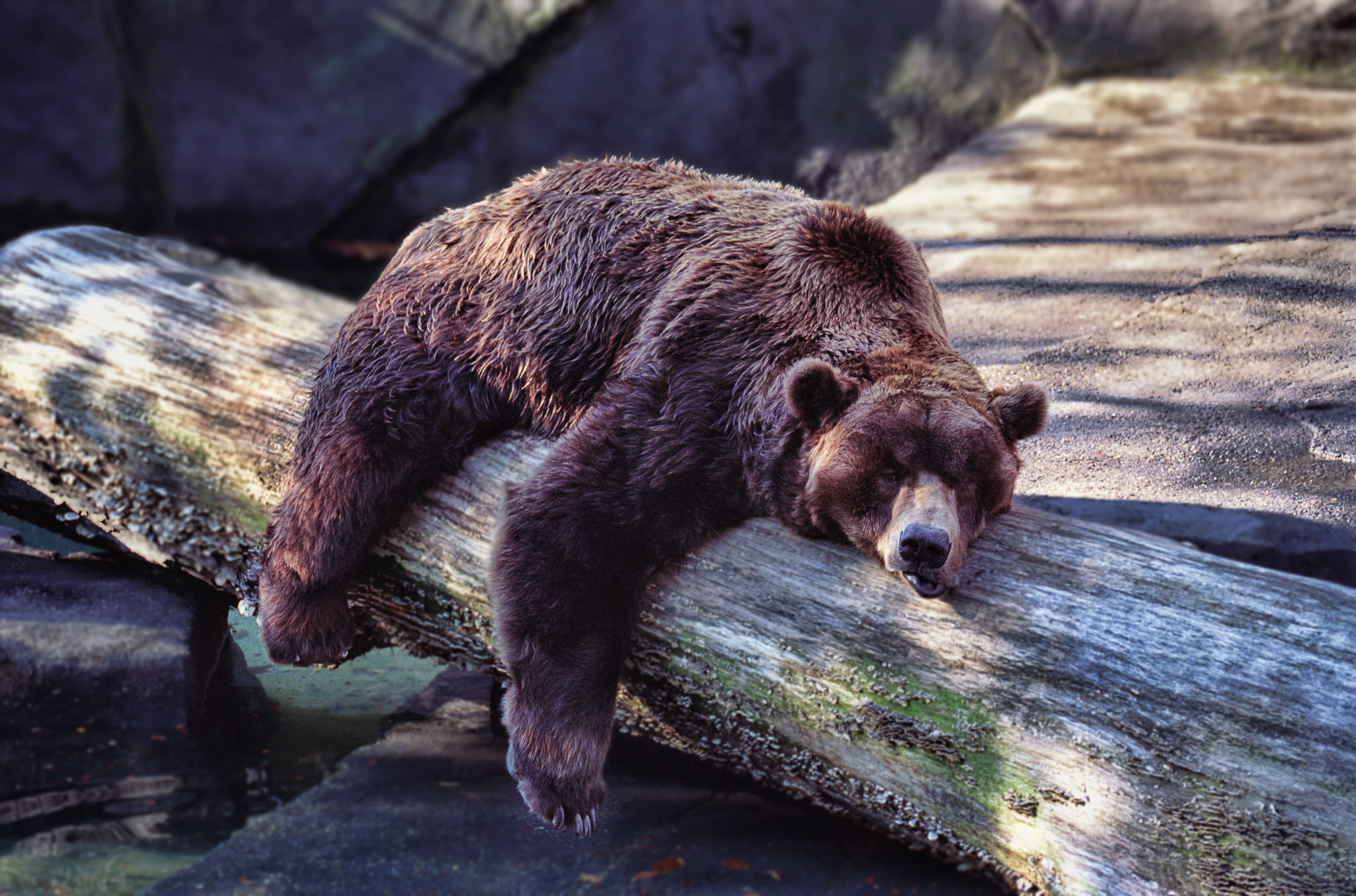 File:Bear Sleeping (11842384304).jpg - Wikimedia Commons