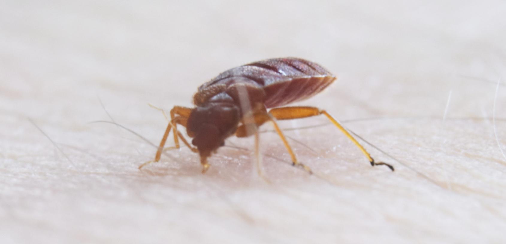 Bed Bug Bite On Dog Belly