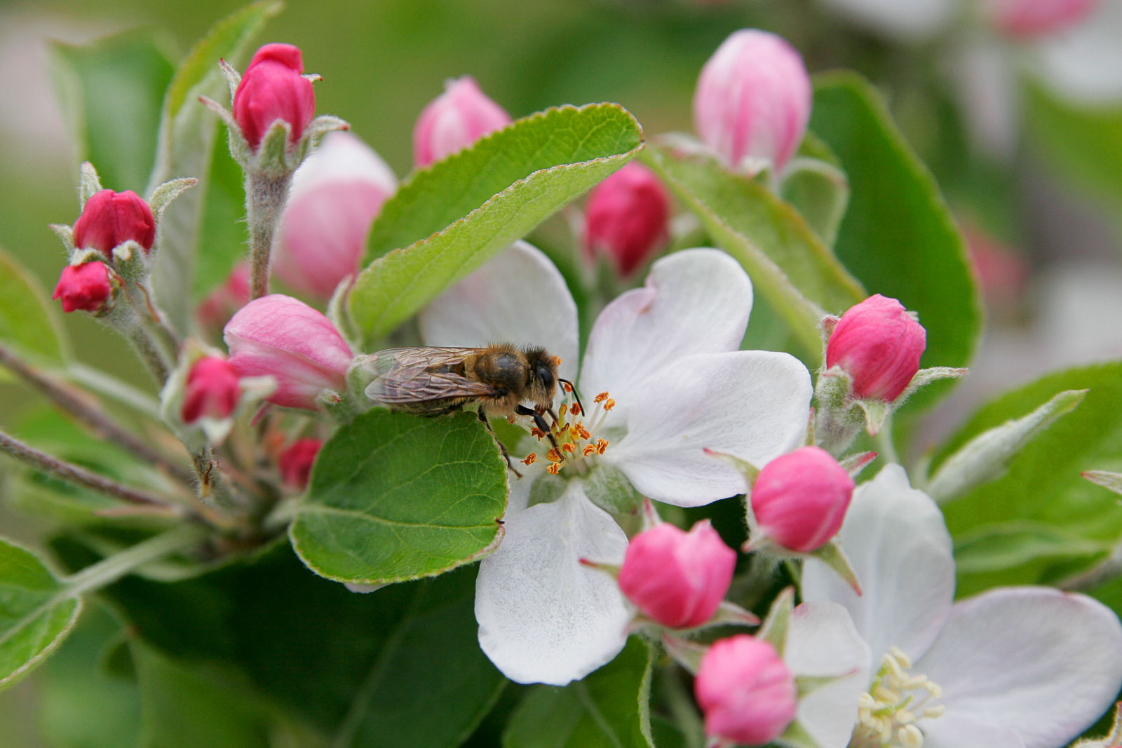 Image result for free images bee in apple blossom