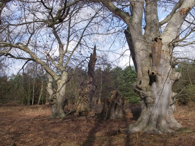 Beech pollards in Tunstall Forest - geograph.org.uk - 385302