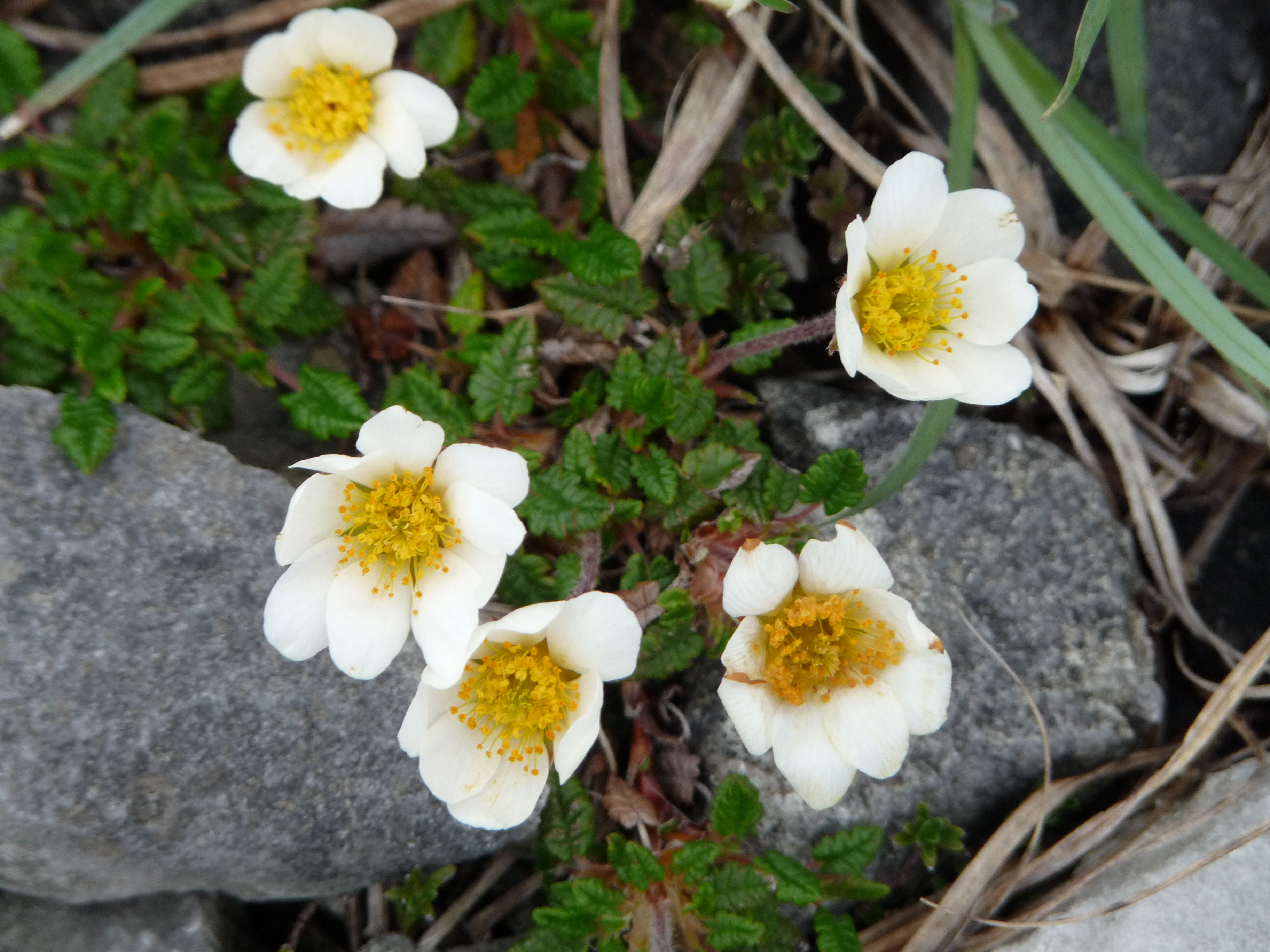 File:Burren Flora 21 Mountain Avens (3585397897).jpg ...
