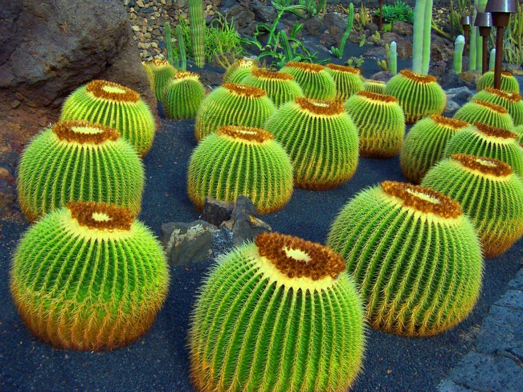 File cactus wikimedia commons - Composiciones de cactus ...