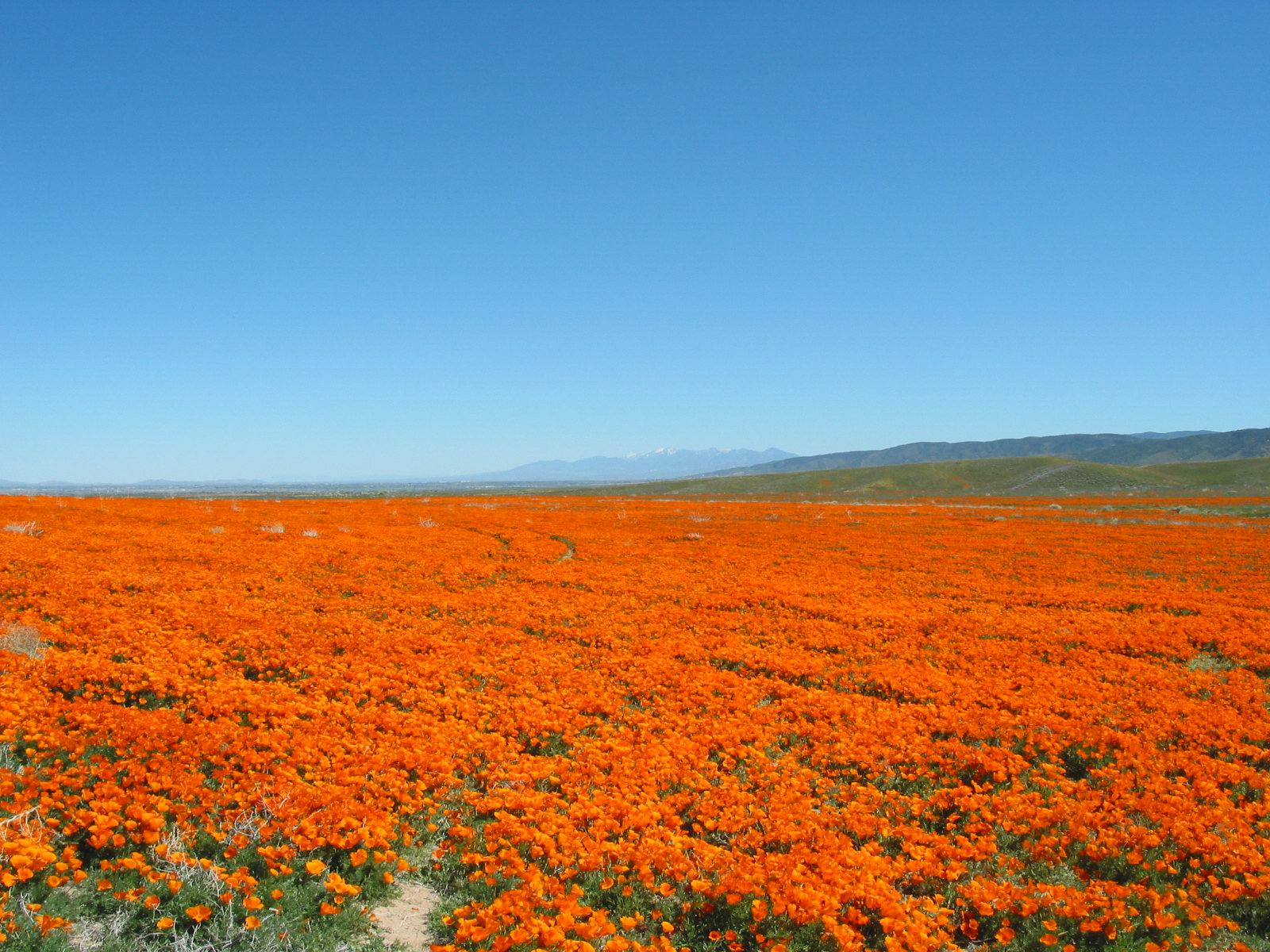 Filecalifornia Poppies1g Wikimedia Commons