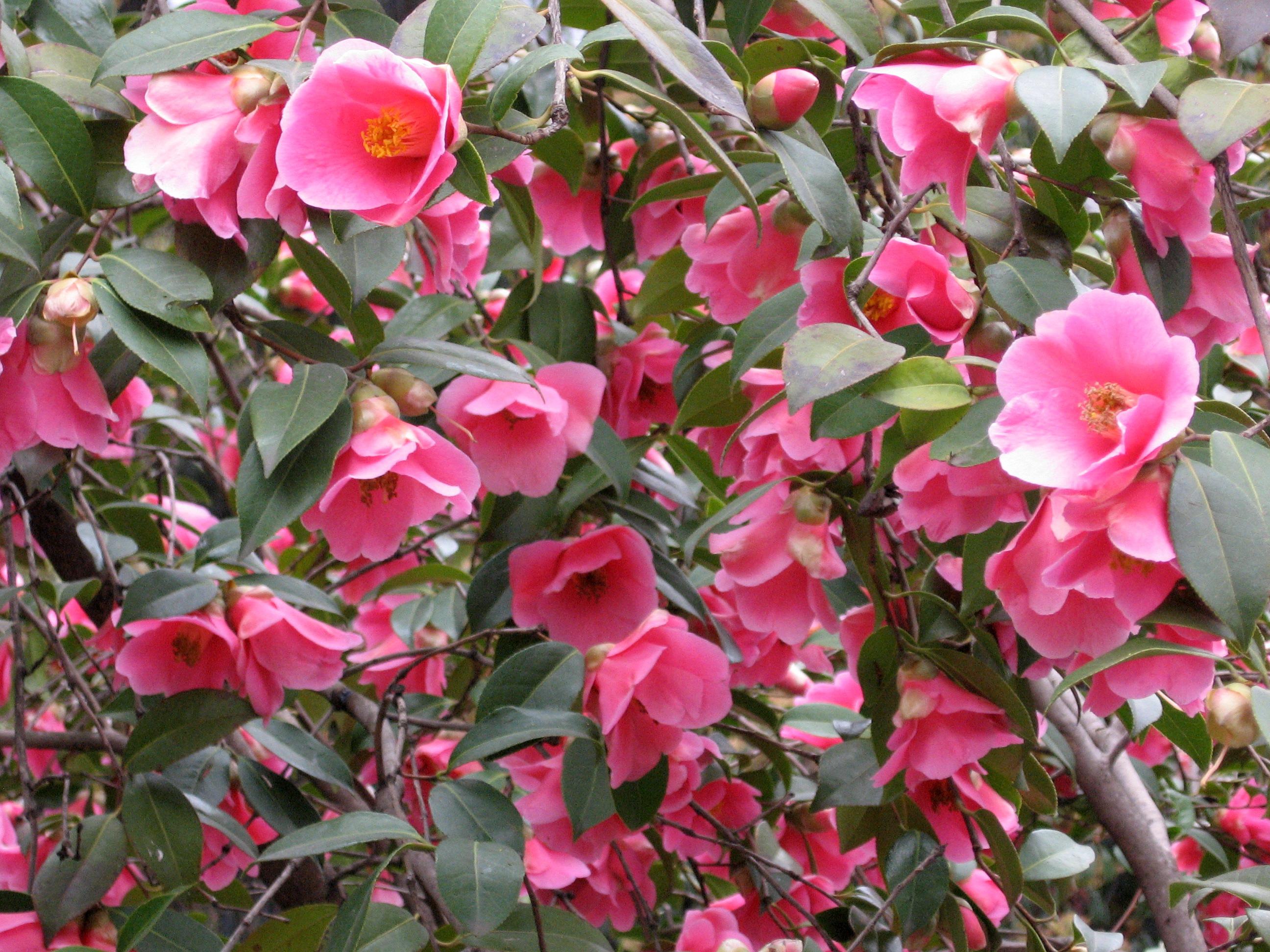 Camellia × williamsii - Wikipedia on