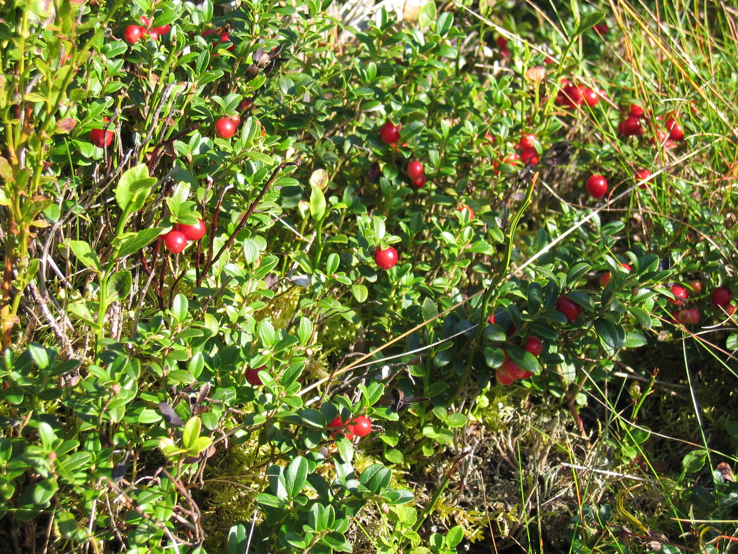 FileCowberries, Sweden.jpg   Wikimedia Commons