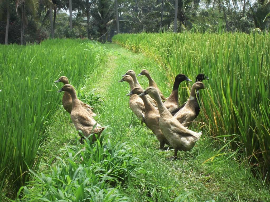 Bebek Pelari Wikipedia Bahasa Indonesia Ensiklopedia Bebas
