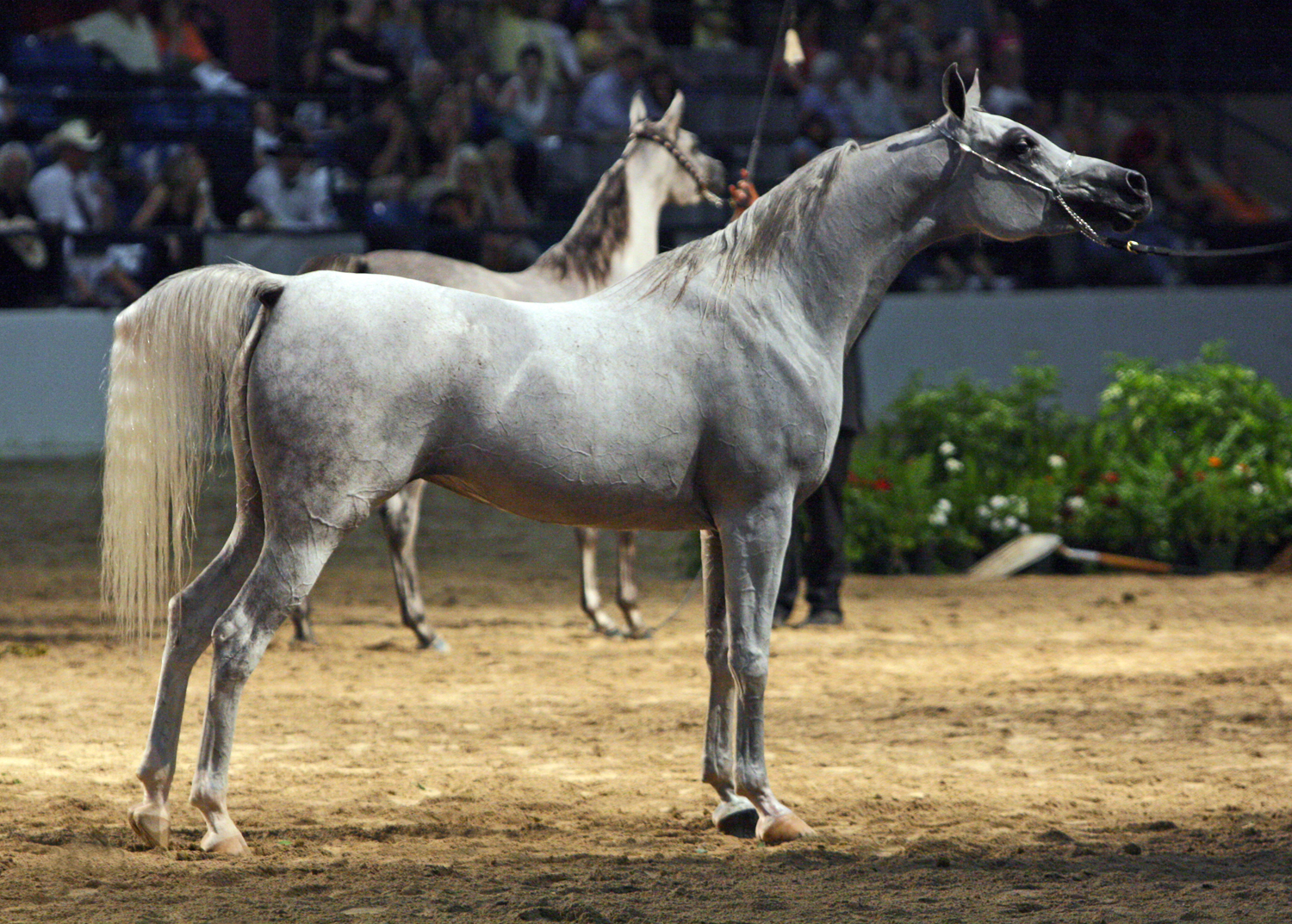Https Commons Wikimedia Org Wiki File Egyptian Arabian Mare At The 2010 Egyptian Event Horse Show 8308402993 Jpg