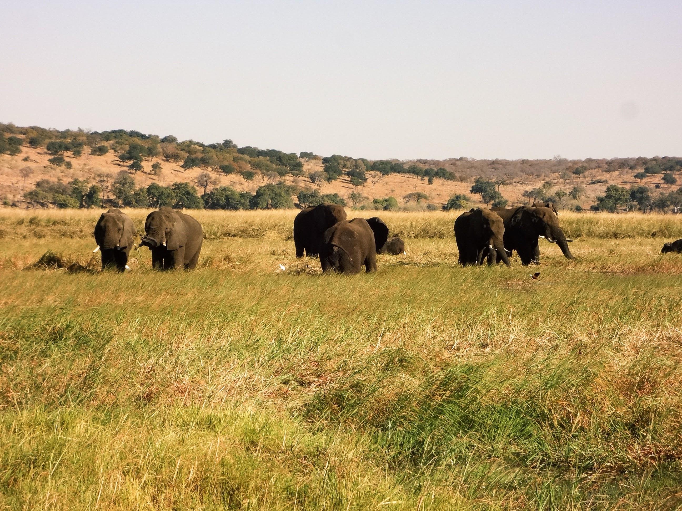 afrikanza-chobe-elephants