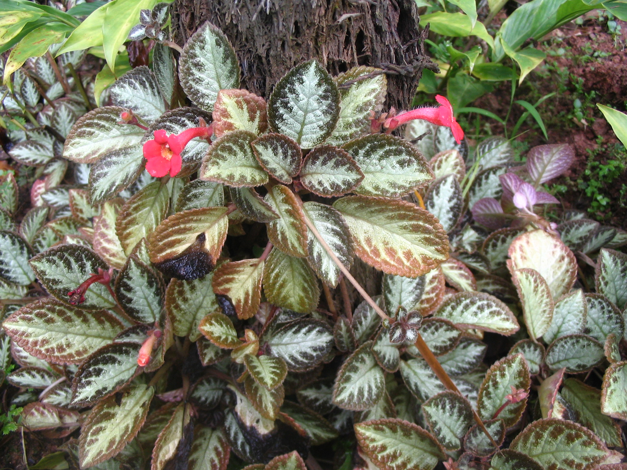 file episcia cupreata   cultivar jpg   wikimedia commons