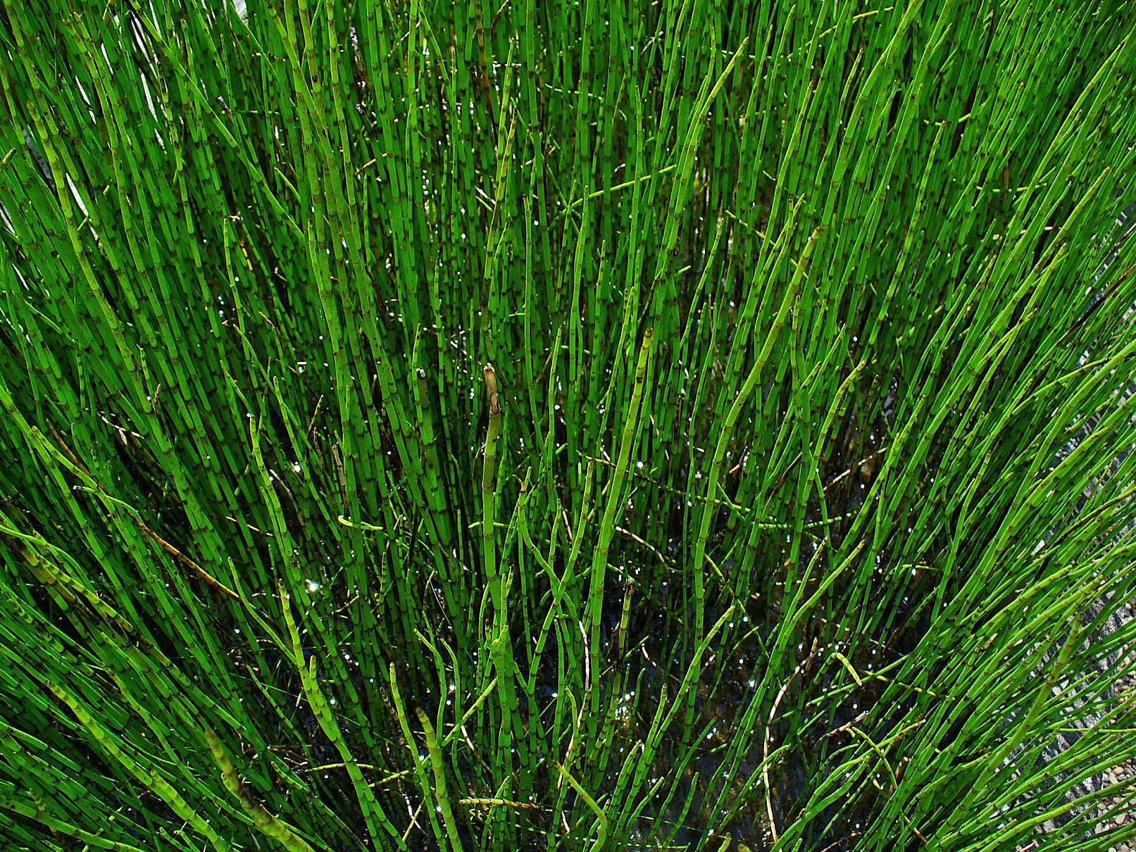 File:Equisetum fluviatile 001.JPG - Wikimedia Commons