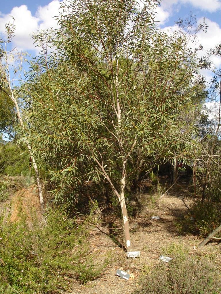 Eucalyptus greg... L Is For Leaf