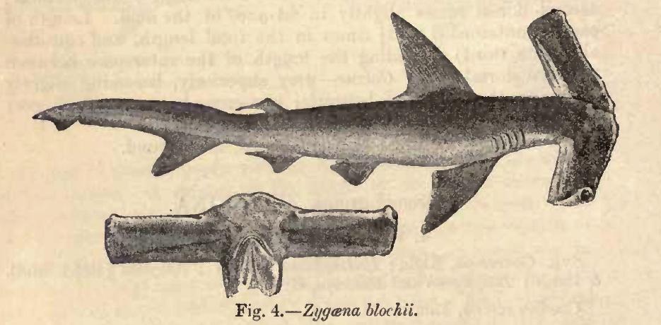 https://upload.wikimedia.org/wikipedia/commons/6/6b/Eusphyra_blochii_Day.jpg