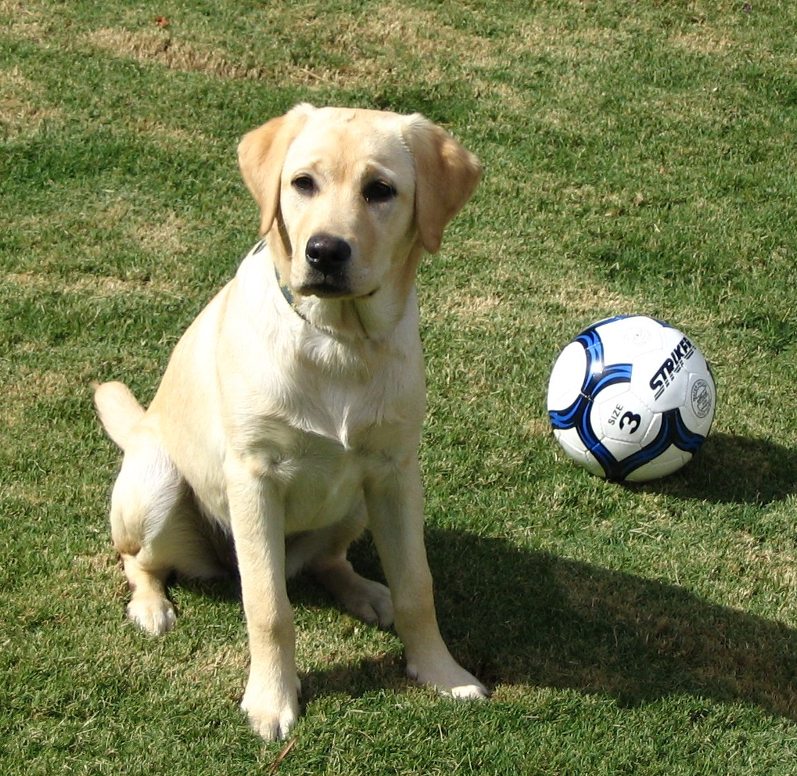 Labrador Retriever - Simple English Wikipedia, the free ...