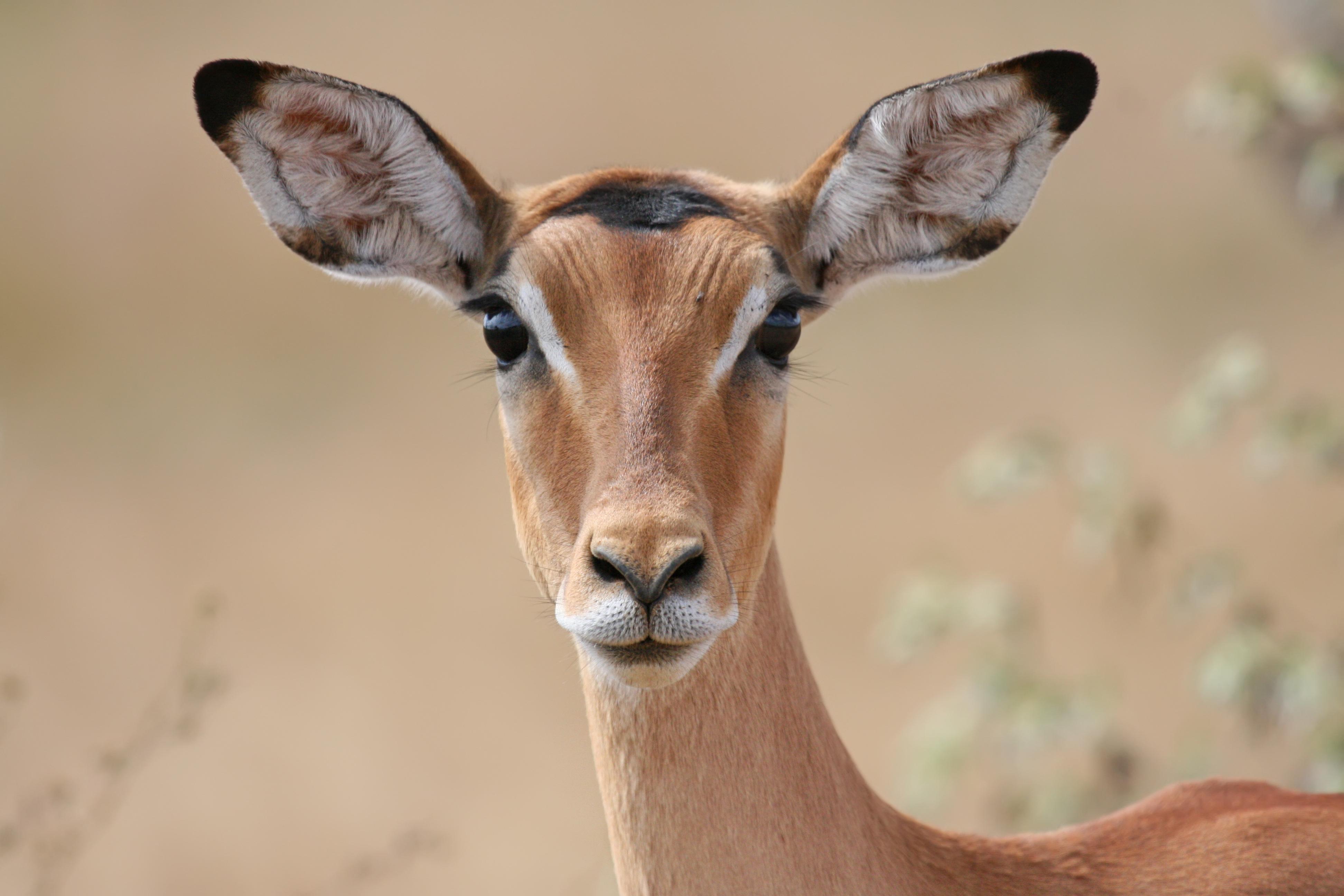 Image Gallery impala animal front