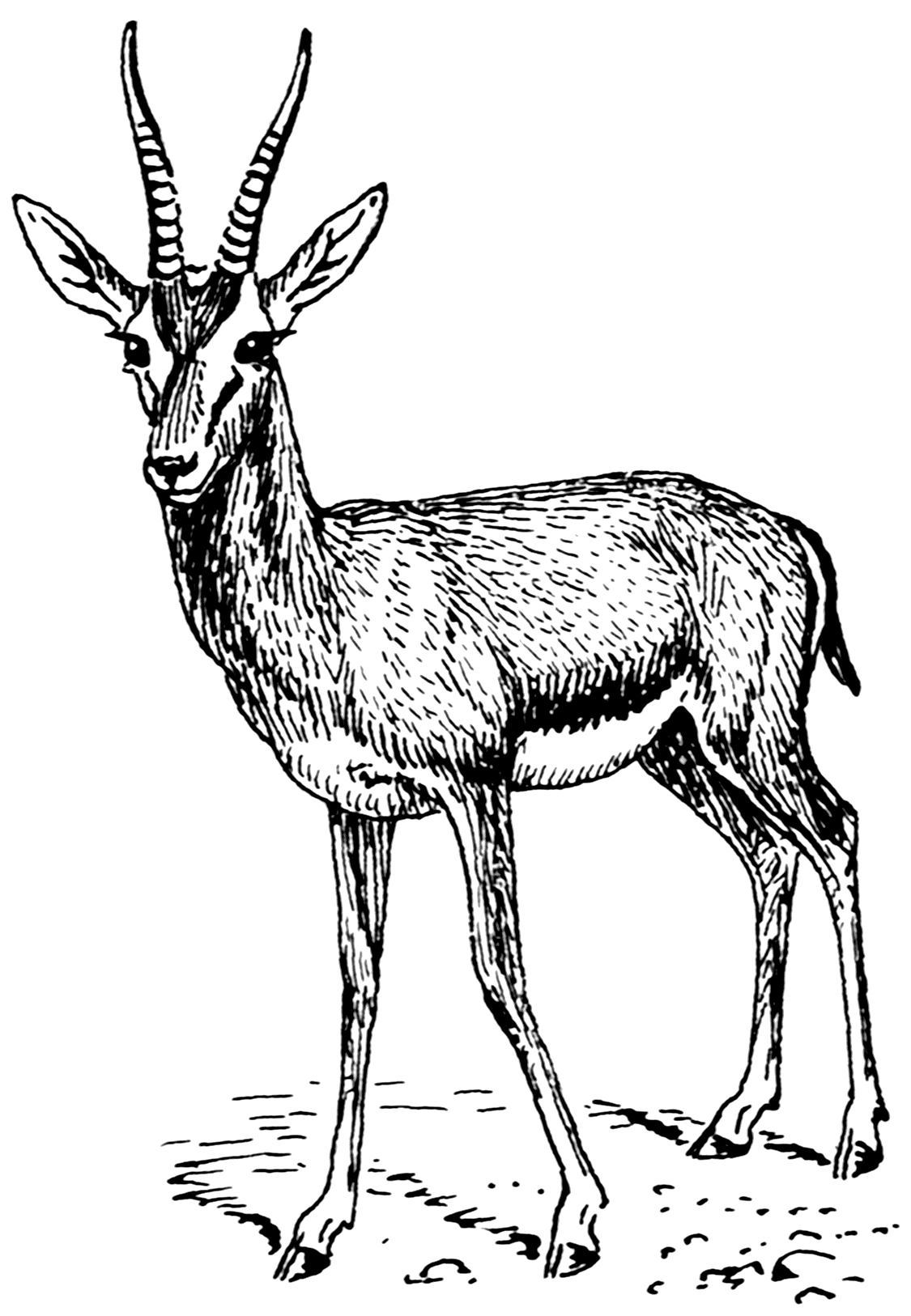 Line Drawings Of African Animals : File gazelle psf wikimedia commons
