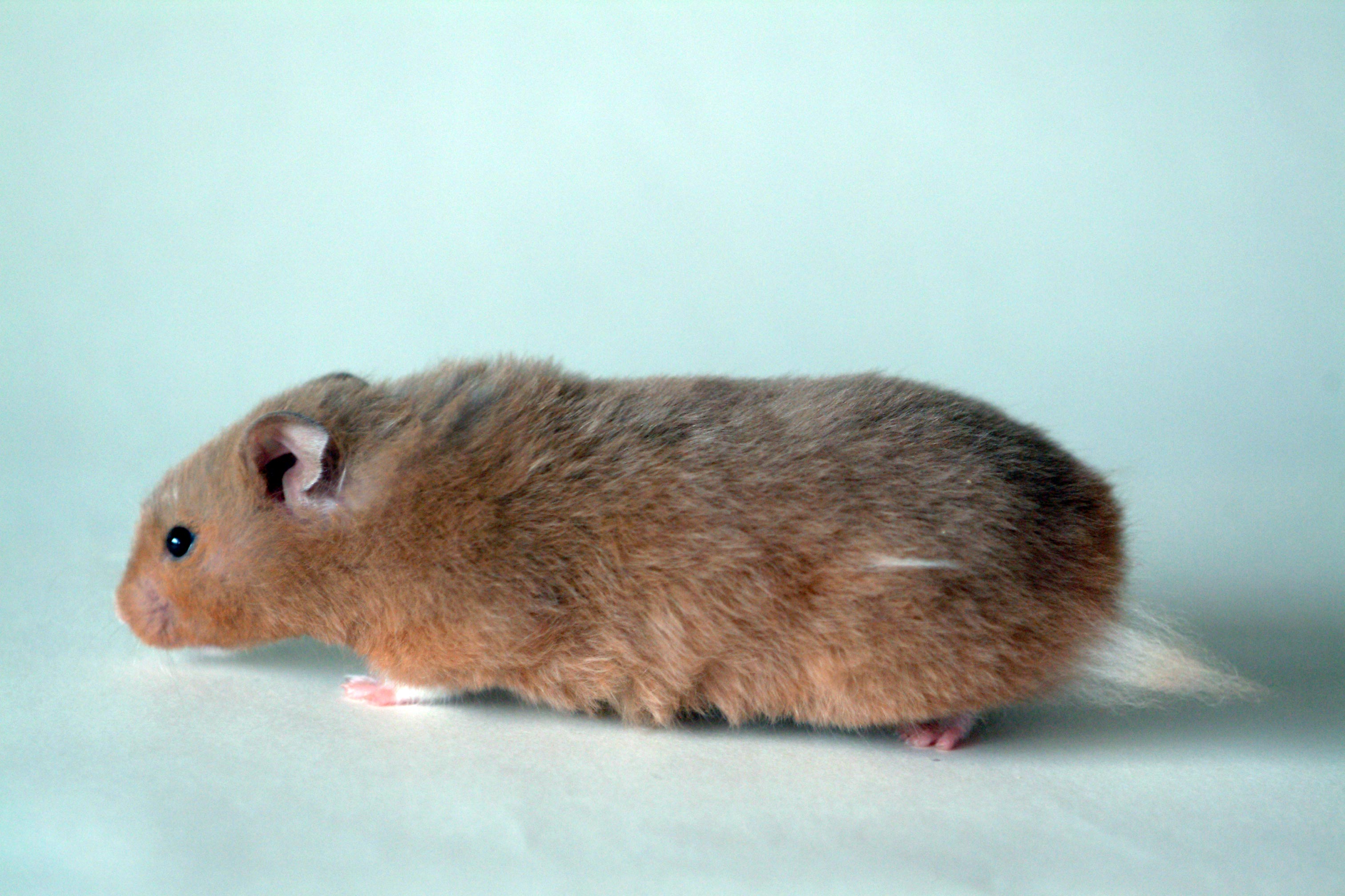 Domestication of the Syrian hamster - Wikipedia