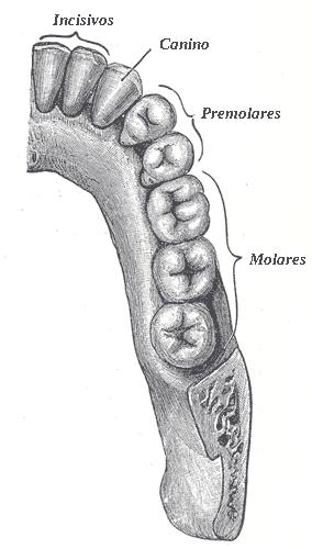 Depiction of Diente incisivo