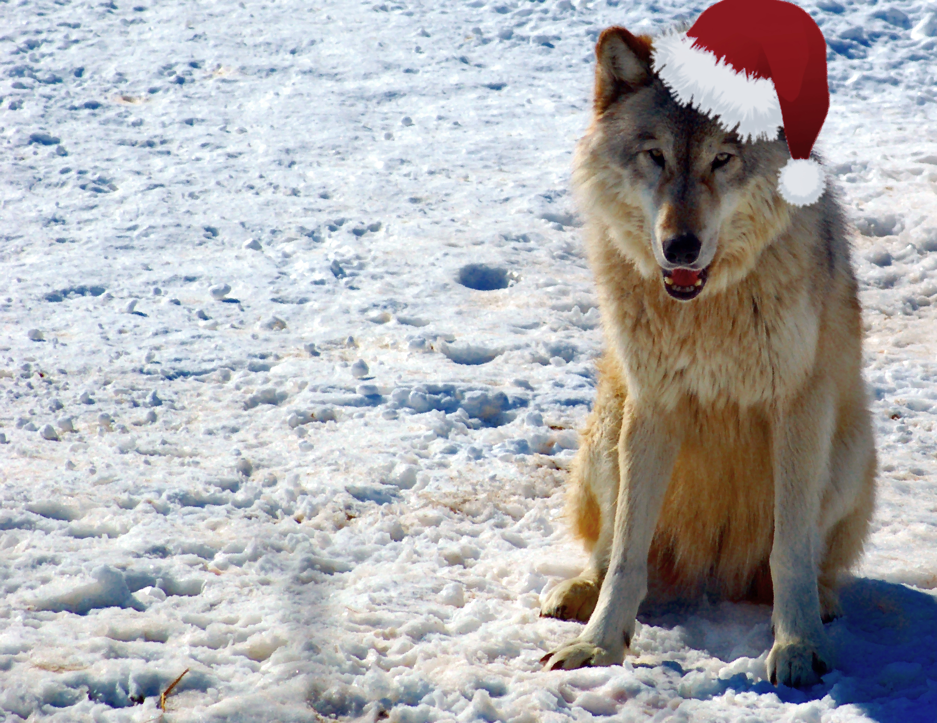 File:Gray Wolf in Minnesota Christmas.jpg - Wikimedia Commons
