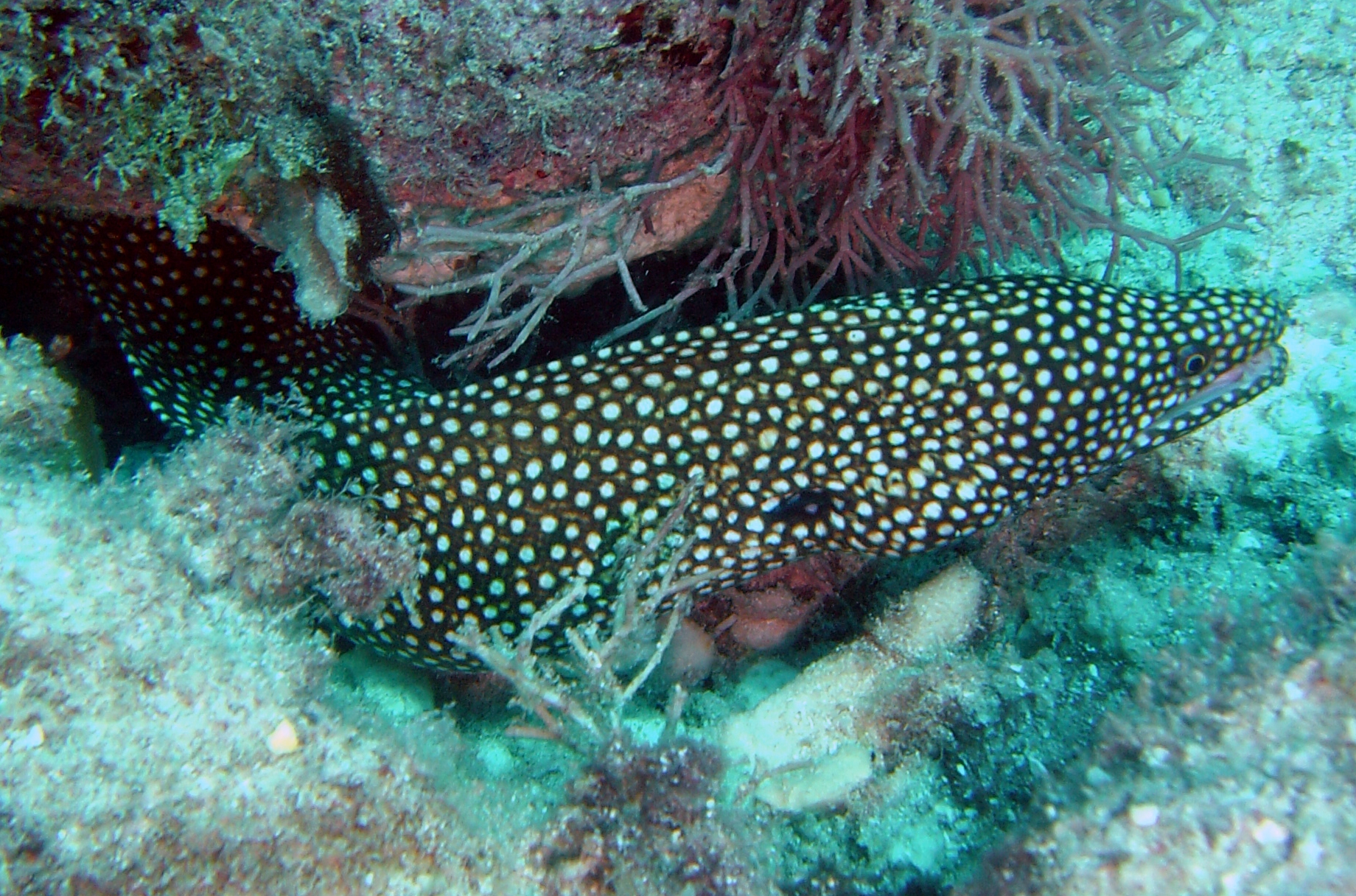 Gymnothorax meleagris.jpg