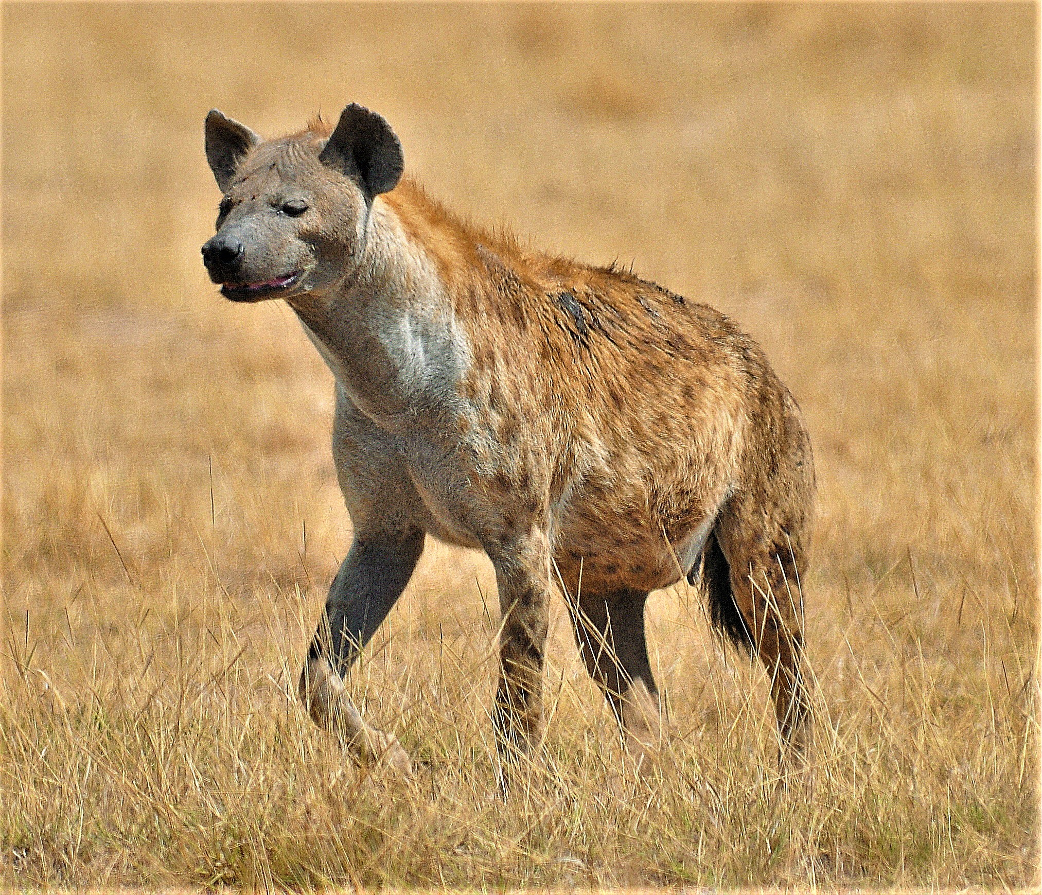 le iene femmine hanno un pene