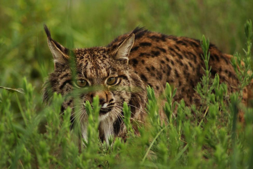 By http://www.lynxexsitu.es - http://www.lynxexsitu.es/index.php?accion=fotos&id=16#lince, CC BY 3.0 es, https://commons.wikimedia.org/w/index.php?curid=27381726