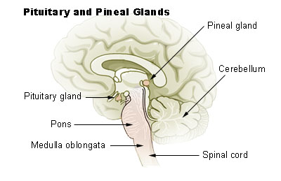 pineal gland human brain picture