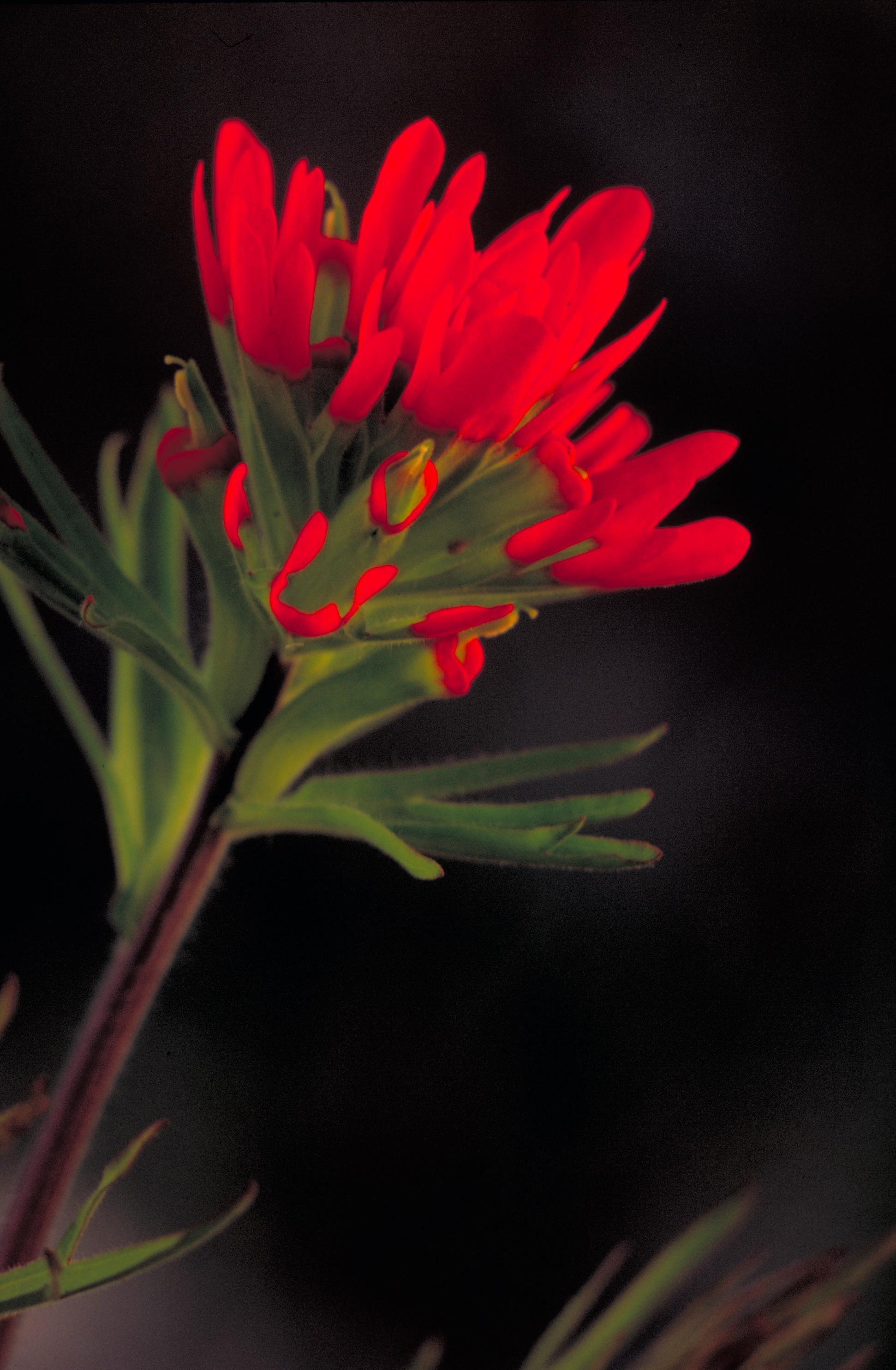file indian paintbrush red flower jpg wikimedia commons
