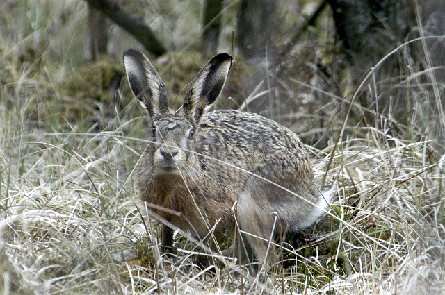 http://upload.wikimedia.org/wikipedia/commons/6/6b/Lepus.europaeus.jpg