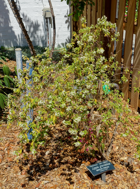 File:Lippia graveolens - Marie Selby Botanical Gardens - Sarasota ...