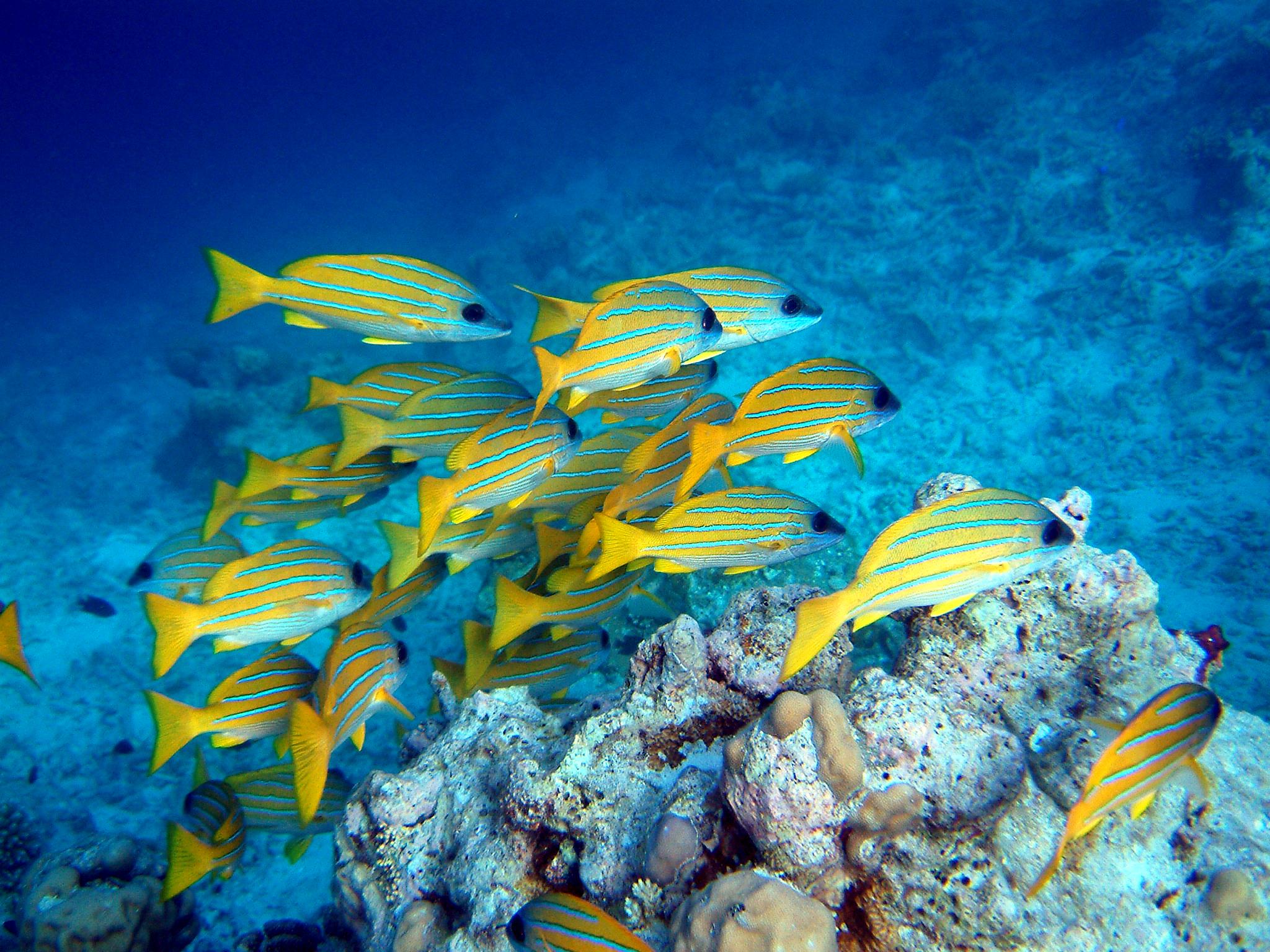 File lutjanus kasmira wikimedia commons for School of fish