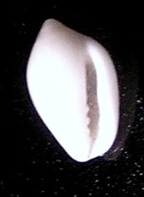 <i>Mesoginella</i> genus of molluscs