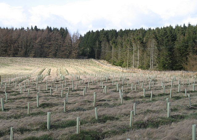 File:Newly planted woodland, Greenknowes - geograph.org.uk - 1223568.jpg
