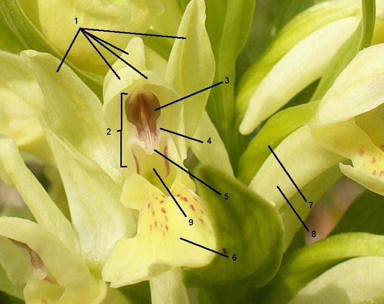 Dactylorhiza sambucina, Orchidoideae for reference