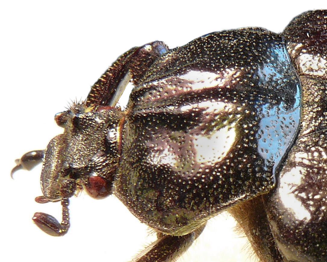 Esoscheletro degli insetti wikipedia for Lepre immagini da stampare