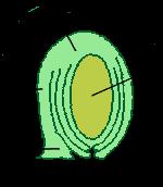 Ovule morphology anatropous