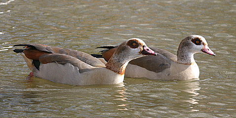 Pair of Egyptian Geese.jpg