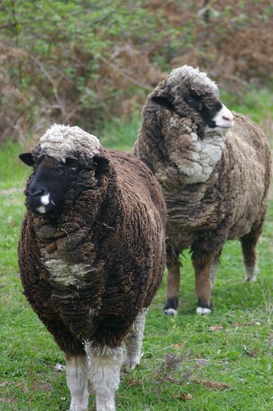 Pair of colored merinos