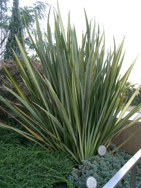 File phormium wikimedia commons for Yucca exterieur