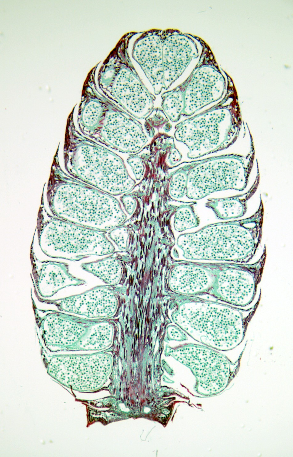 Pinus Pollen Description File:pinus Pollen Cone Ls.jpg