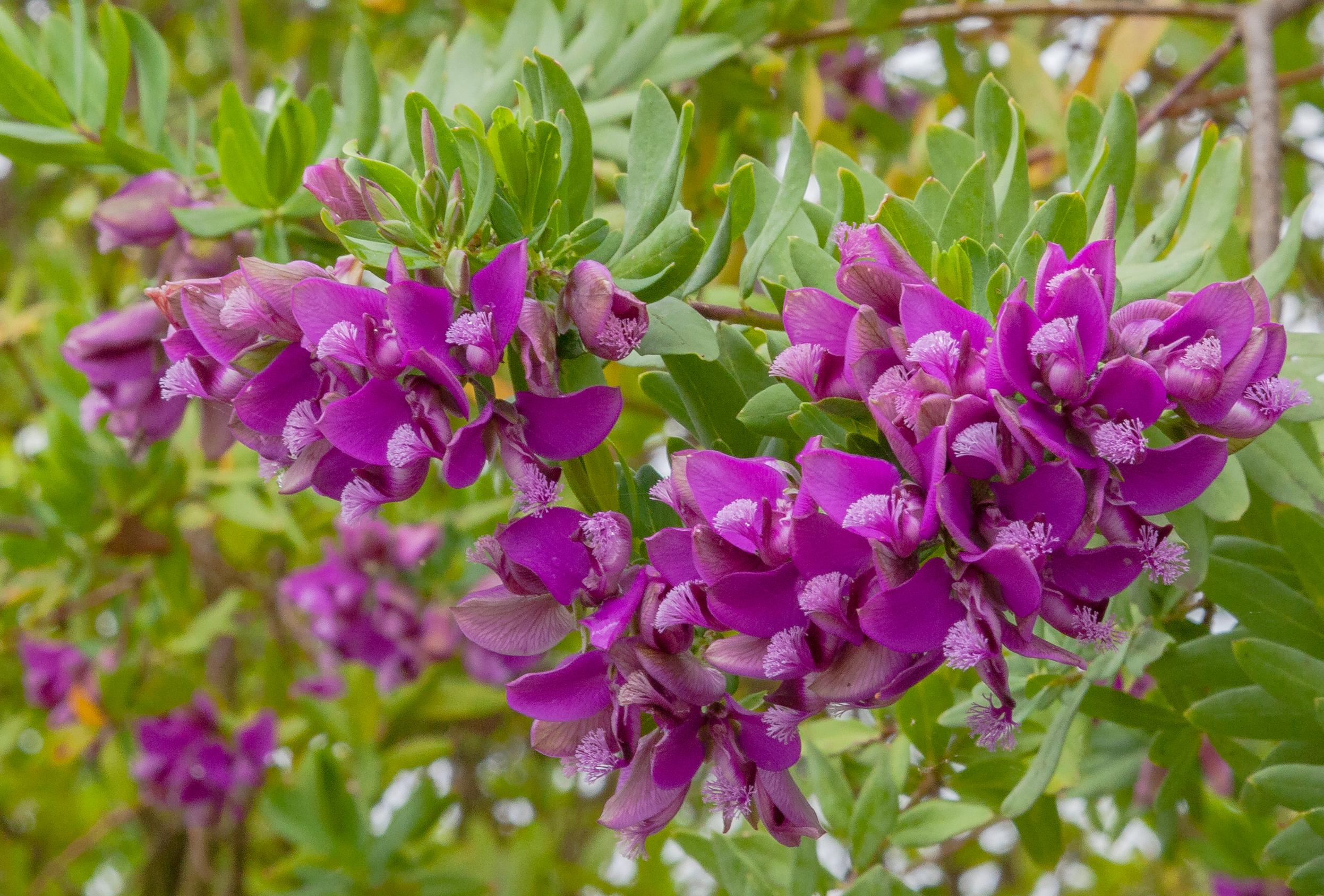 File pol gala de hoja de mirto polygala myrtifolia - Arbustos con flores ...