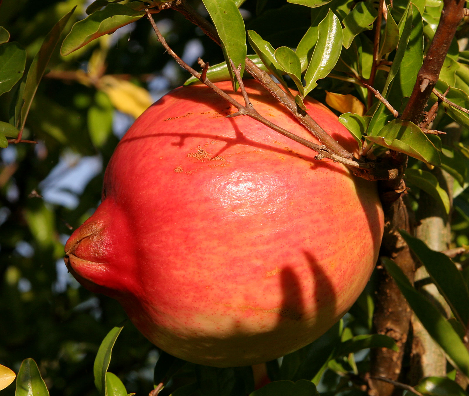 Pomegranate Fruit Wikipedia Bahasa Indonesia Ensiklopedia Bebas