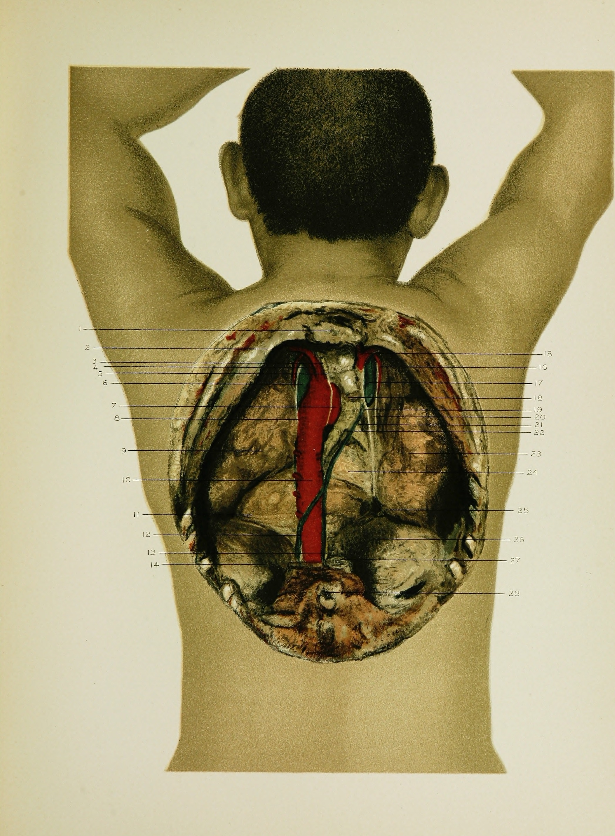 Fileregional Anatomy In Its Relation To Medicine And Surgery 1891