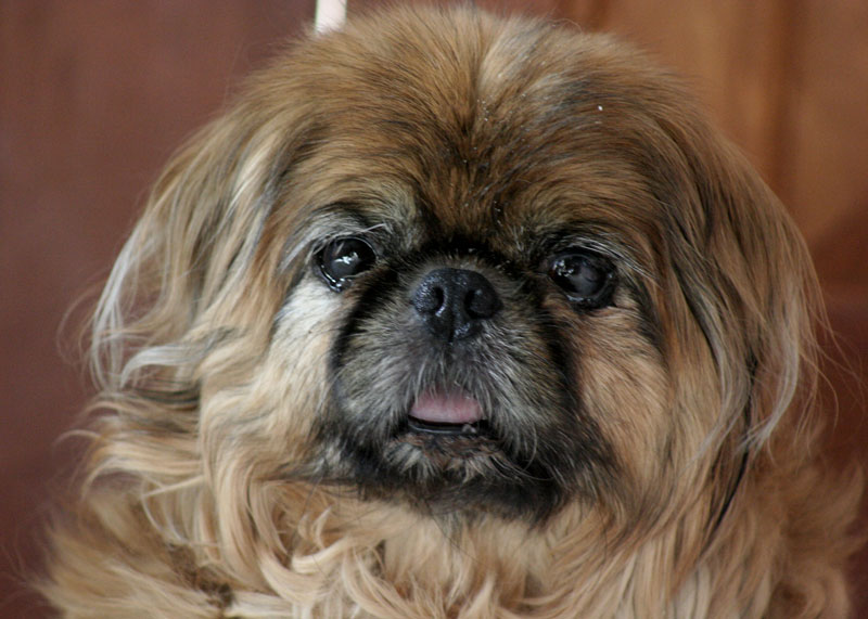 Brown Pekingese dog