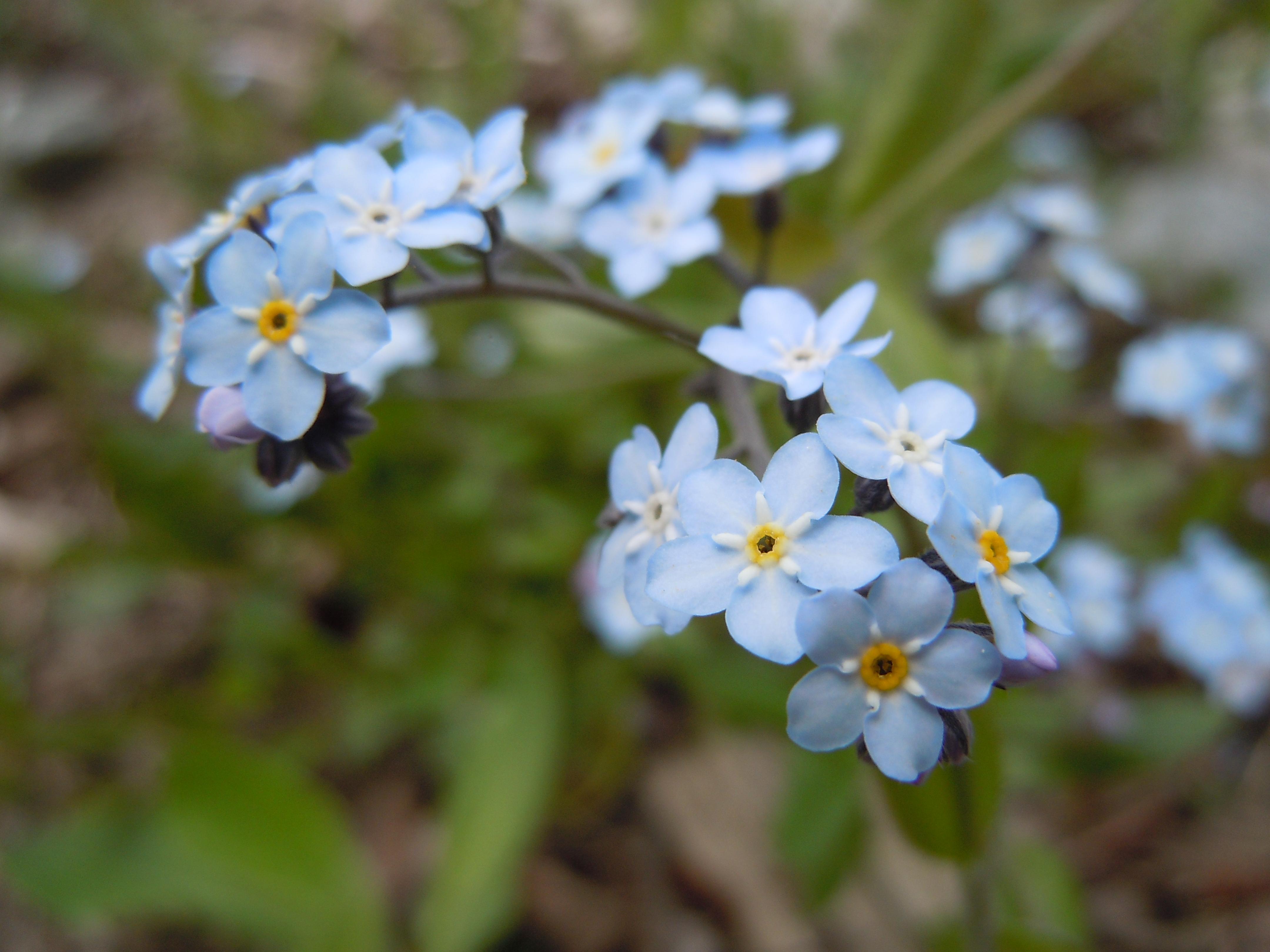 File Romanian Flora Wild blue small flower 01 JPG Wikimedia mons